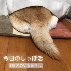 柴犬のしっぽ活(動)を撮るのが楽しみになってきた、私。