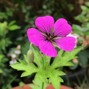 種をまいて7年 ゲラニウム プシロステモンが開花です