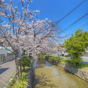 恩智川に咲いた菜の花 其の2