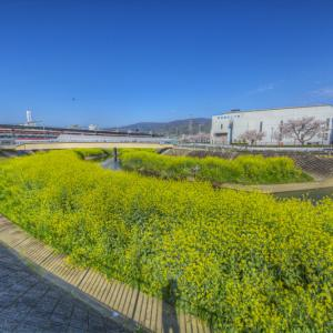 恩智川に咲いた菜の花 其の8