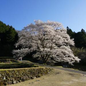 美杉の淡墨桜