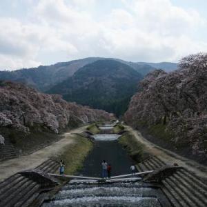 うぐい川の桜並木