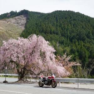 高見の枝垂れ桜