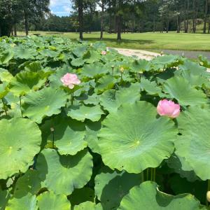 昨日のゴルフ ざる蕎麦 蓮の花とバッタ