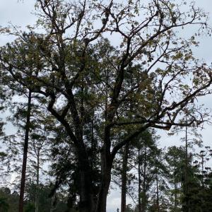 連休お疲れゴルフ パンヤの木