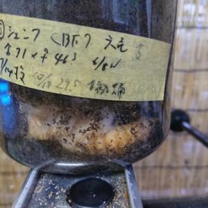 台湾 六亀産シェンクリングオオクワガタ ♂ 羽化