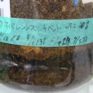 チベットツォナ産ネパレンシス♂羽化