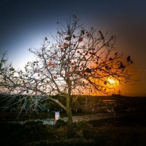 小菊の里-その2- //夕陽を絡めて//