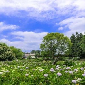 2021年 荻窪公園の紫陽花見ごろでした
