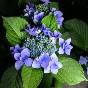 群馬県 自音寺 その1 // 紫陽花が見ごろでした // 2021年