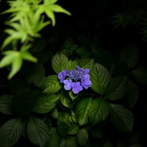 //山曹源寺(さざえ堂)の紫陽花// 2021年