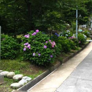 宗光山 玉巌寺の紫陽花 2021年