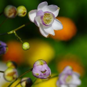 我が家の 蓮華升麻(レンゲショウマ)が咲きましたよ ^^)V 2021年