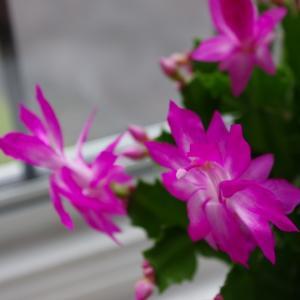 ジャコバサボテン、早めの花ざかり