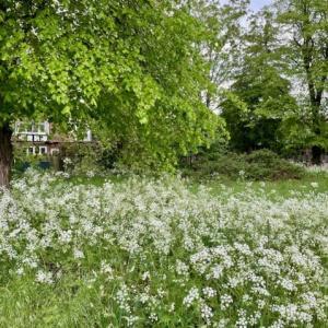 初夏を盛り上げるレースの花、カウパセリ