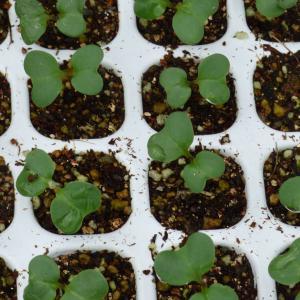 ブロッコリー発芽です