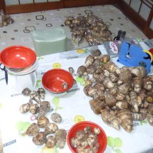 サトイモの出荷調整作業(袋入れなど)