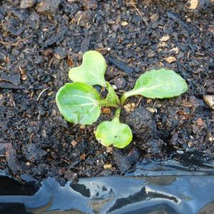 アスパラ菜追加定植