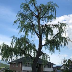 柳の木の剪定