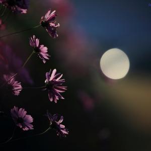 月とコスモス