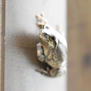 我が家のカエル~その4~