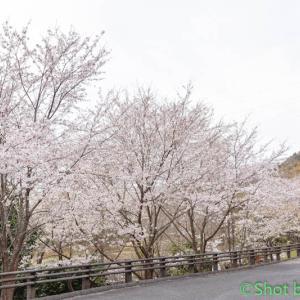 桜2021~その7~