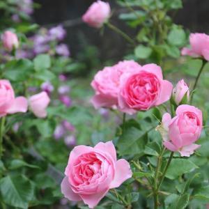 アマガエルとバラのベッド