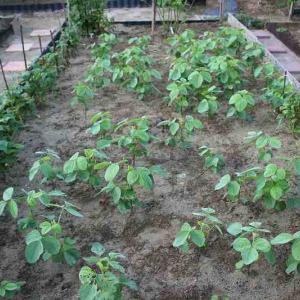ニンニクとサヤインゲンの収穫