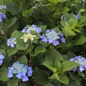 雨の季節にブルーの花