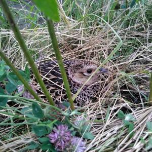 卵を抱くキジ