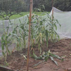 その後のハクビシンと枝豆収穫