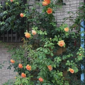レディーオブシャーロットの二番花