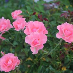 バラの返り咲き