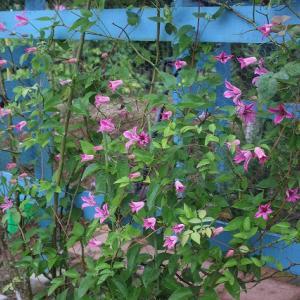 クレマチスたくさん咲いた
