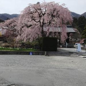 信州・ 駒ケ根 光前寺の枝垂れ桜