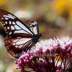 旅する蝶…アサギマダラ