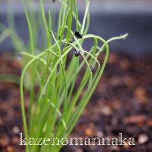 九条葱の苗