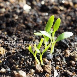 三つ葉の発芽