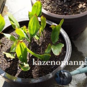 スズランの鉢植え、植え替えました。。。