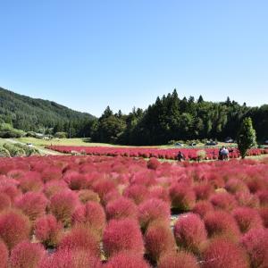 ★山里のもこもこピンクのほうき草*水上 伊賀野の花畑