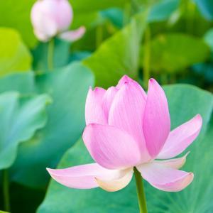 ★蓮の花の由来は「ハチの巣」