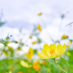 ★今日の花は、キバナコスモス