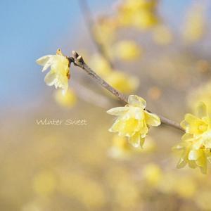 ★幸せを呼ぶ縁起の良い名前の黄色い花は、