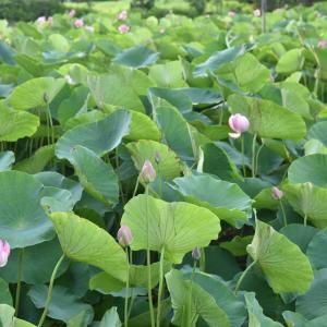 ★初夏の花 ハス池で癒される 古代蓮の里