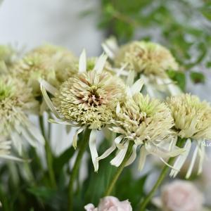 ★免疫力を高めるハーブ⁉ エキナセアの花