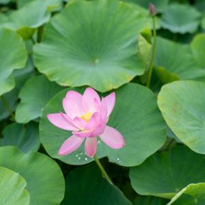 ★水滴コロン♪ 動画蓮の花