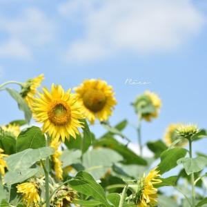 ★夏らしいヒマワリの写真を素敵に撮るコツ