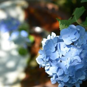★紫陽花を長く楽しむためのコツ