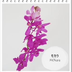 ★夏らしい! 鮮やかな花色が特徴「モカラ」