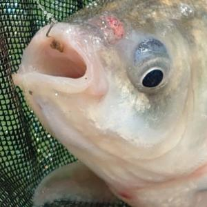 淋しい淡水魚???IN【三川フィッシュパーク】トーナメント